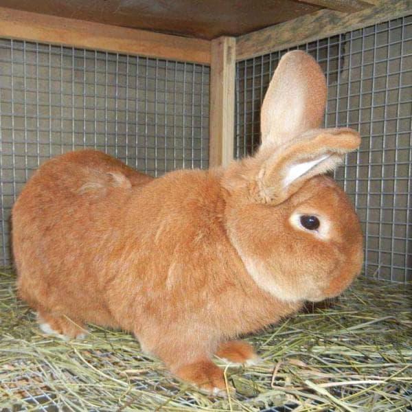 красный новозеландский кролик