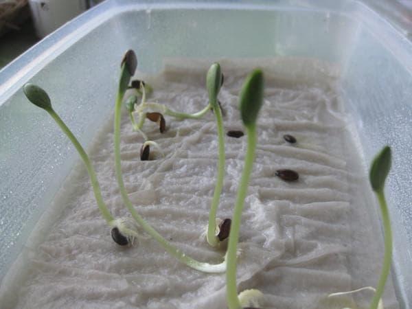 как правильно замочить семена перцев перед посадкой