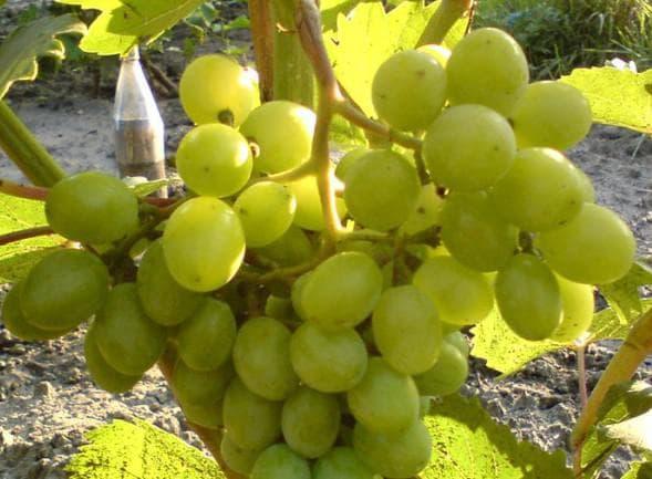 виноградник Находка АЗОС