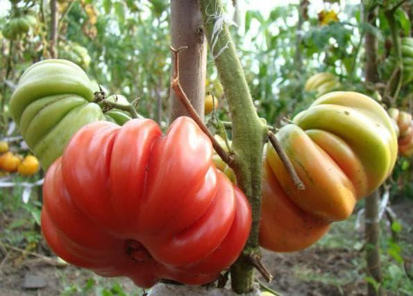 помидоры Лотарингский красавец