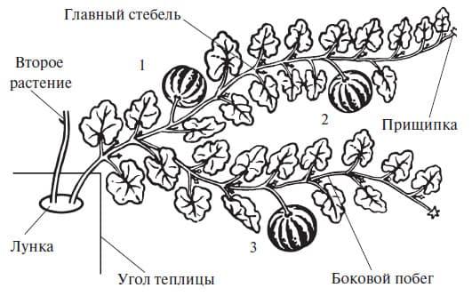 формирование при росте тыквы