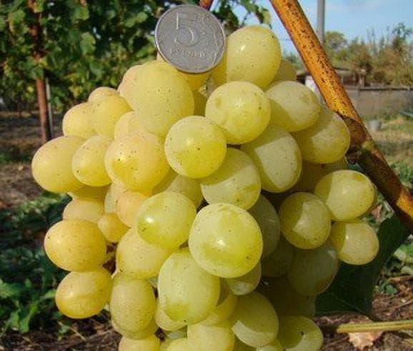 виноградник Супер экстра