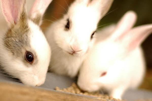 Болезни кроликов как вылечить кокцидиоз