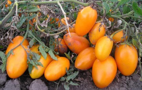 помидоры Золотой поток