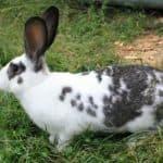Разведение кроликов породы Бабочка