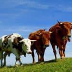 швицкая порода коров фото