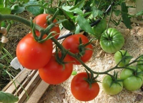 помидоры сорта Биатлон (F1)