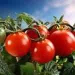 помидоры для теплицы из поликарбоната сорта фото