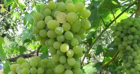 виноградник Феномен