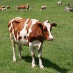 симментальская порода коров цена