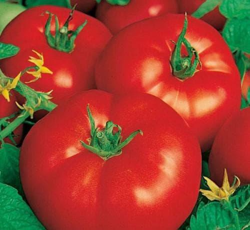 помидоры сорта Волгоградский скороспелый 323