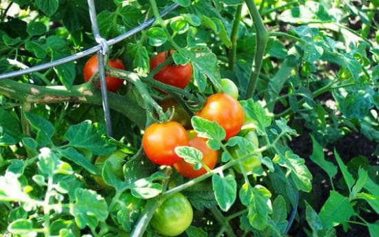 помидоры Скороспелка
