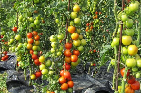 помидоры Семко-Синдбад