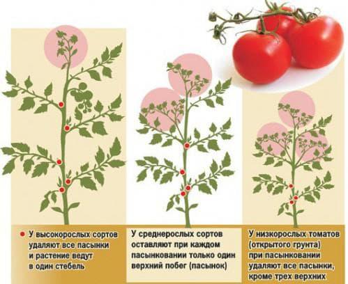 формирование куста помидор