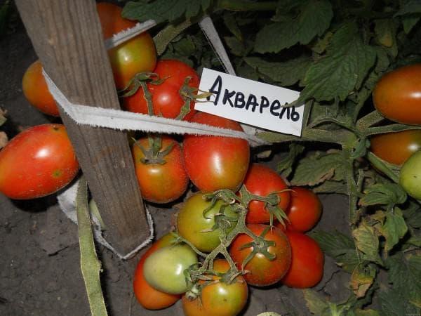 помидоры Акварель