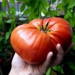 как вырастить ранние помидоры в теплице