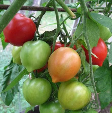 помидоры Кобзарь