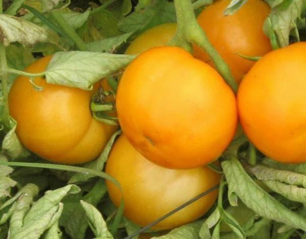 помидоры Томат новогодний