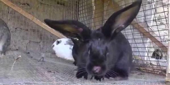 нематодироз у кроликов