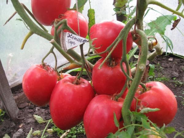 помидоры Кенигсберг