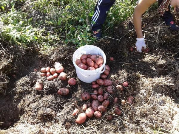 посадка картофеля под салому