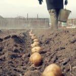 Картофель вишенка: характеристика сорта и описание