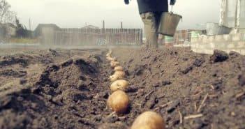картофель на дом