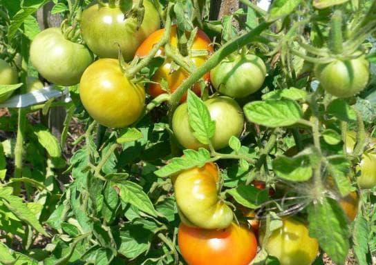 помидоры Дачник