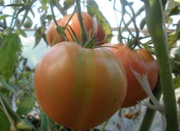 помидоры Алсу