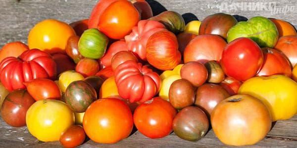 помидоры сорта двуколор