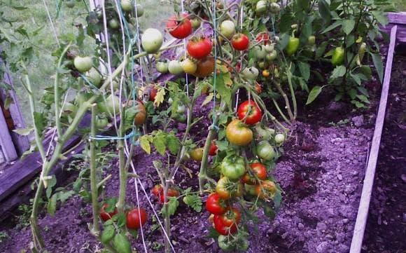 помидоры Бони-М