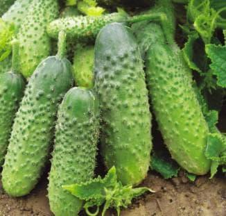семена огурцов лучшие сорта для открытого грунта