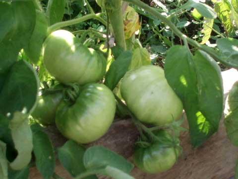 помидоры Бушмен