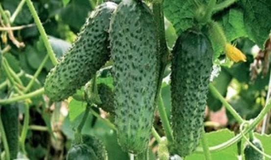 ТОП 20 лучших сортов огурцов для выращивания в открытом грунте: какие семена лучше сажать, чтобы получить хороший урожай