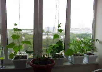 огурцы на окне выращивание зимой
