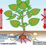 Престиж — препарат, который используется для обработки картофеля