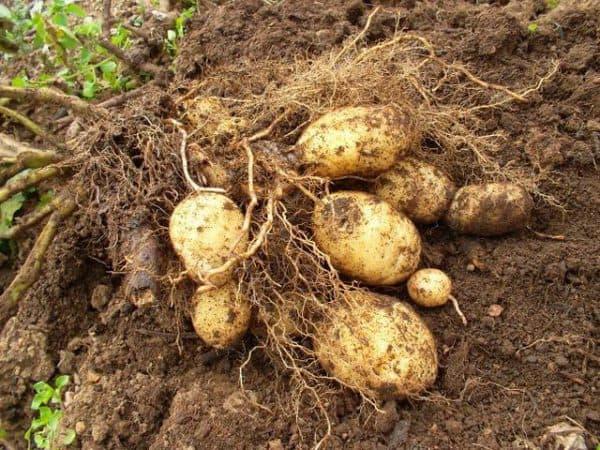 картошка из семечки