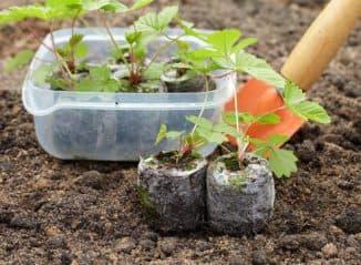 выращивание рассады для клубники