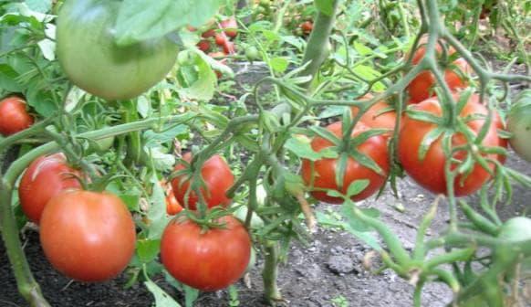 помидоры Львиное сердце