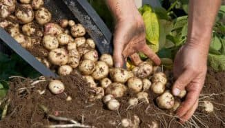 картофель который прорастает из семян