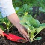 Способы выращивания рассады капусты в домашних условиях
