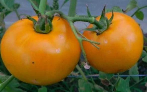 помидоры золотая королева