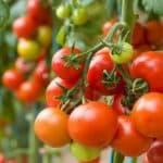 как правильно замачивать семена томатов перед посадкой
