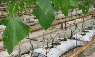 выращивание огурцов в мешках с прорезями