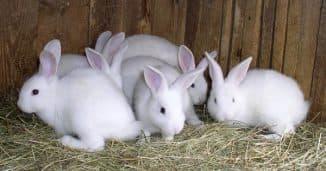 кролики долгожители