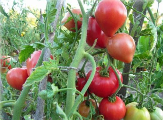 помидоры сорта Абаканский розовый