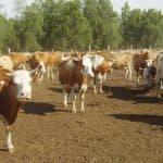 Симментальские коровы: особенности породы