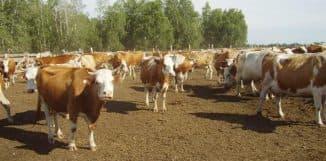 стадо симментальской породы коров