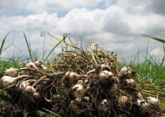 выращивание чеснока в открытый грунт