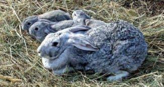 кролик гигант